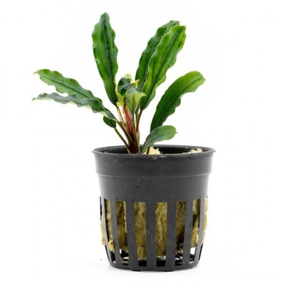 Bucephalandra Kedagang Green Long Saksı Canlı Bitki