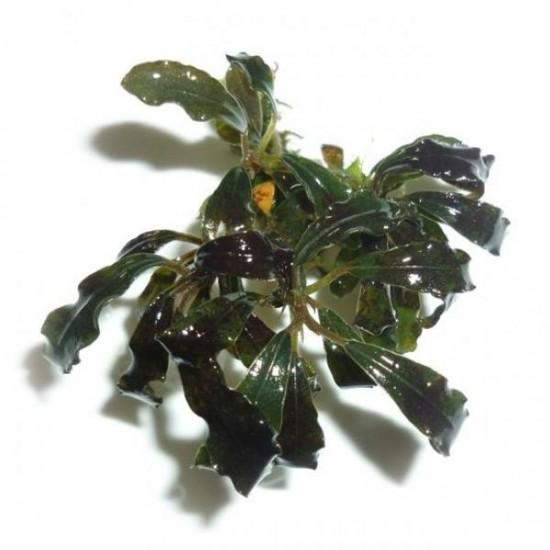 Bucephalandra Kedagang Japan Saksı Canlı Bitki