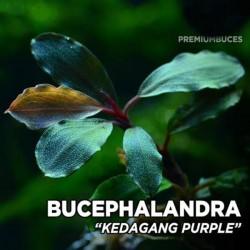 Bucephalandra Kedagang Purple Saksı Canlı Bitki