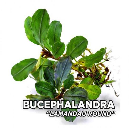 Bucephalandra Lamandau Round Saksı Canlı Bitki