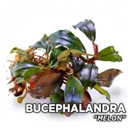 Bucephalandra Melon Saksı Canlı Bitki
