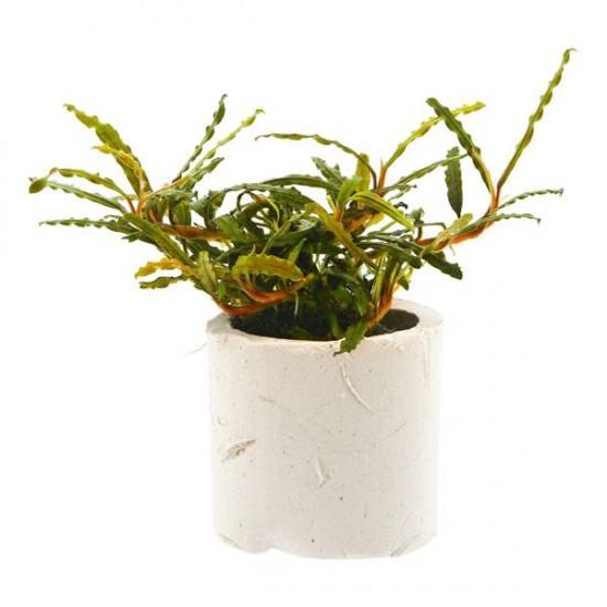 Bucephalandra Micro Belindae Saksı Canlı Bitki