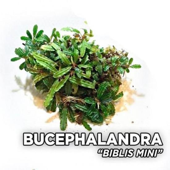 Bucephalandra Mini Biblis Saksı Canlı Bitki