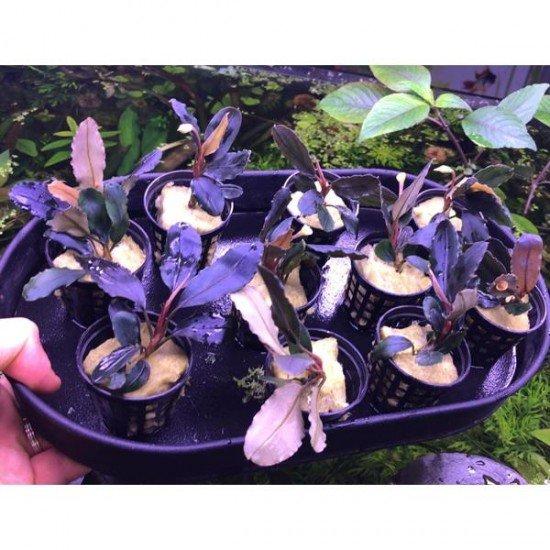 Bucephalandra Rainbow Marble Saksı Canlı Bitki