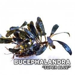 Bucephalandra Super Blue Saksı Canlı Bitki