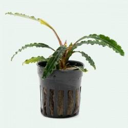 Bucephalandra Theia Saksı Canlı Bitki