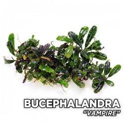 Bucephalandra Vampire Saksı Canlı Bitki