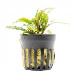 Bucephalandra Velvet Saksı Canlı Bitki
