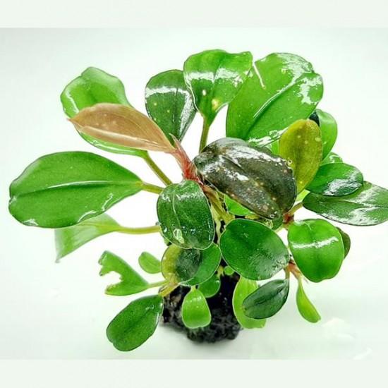Bucephalandra Venus Saksı Canlı Bitki