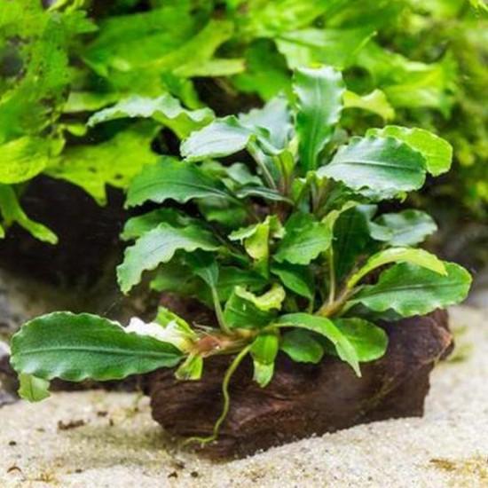 Bucephalandra Wavy Dark Green Saksı Canlı Bitki