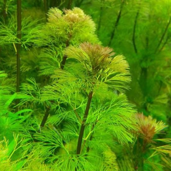 Cabomba Aquatica Saksı Canlı Bitki