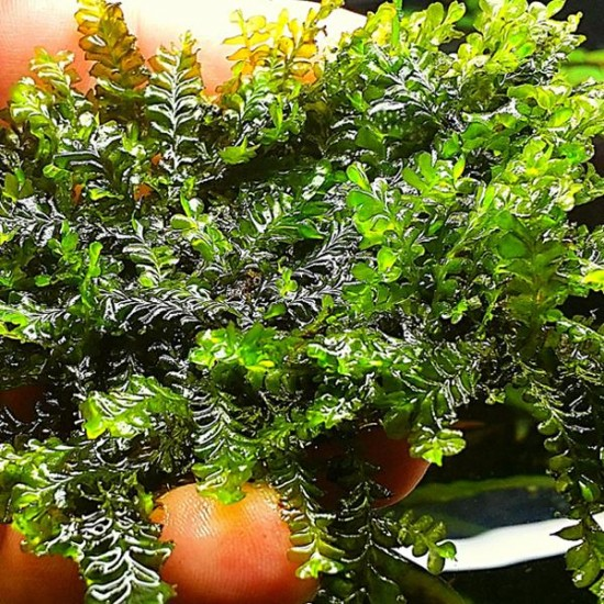 Cameroon Moss 5x5 Yeni Sarım Canlı Bitki