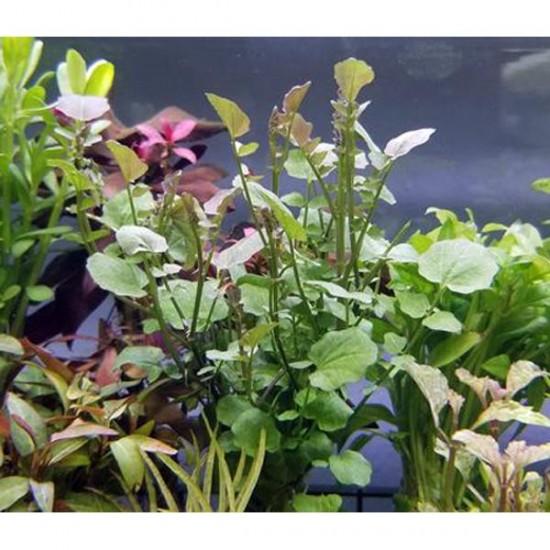 Cardamine Lyrata In Vitro Canlı Bitki