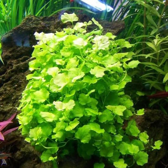 Cardamine Lyrata Saksı Canlı Bitki