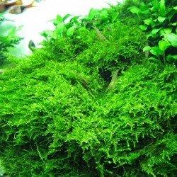 Christmas Moss Cup Canlı Bitki