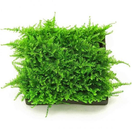 Christmas Moss Yeni Sarım Canlı Bitki 5x5 Cm
