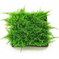 Christmas Moss 10x10 Cm