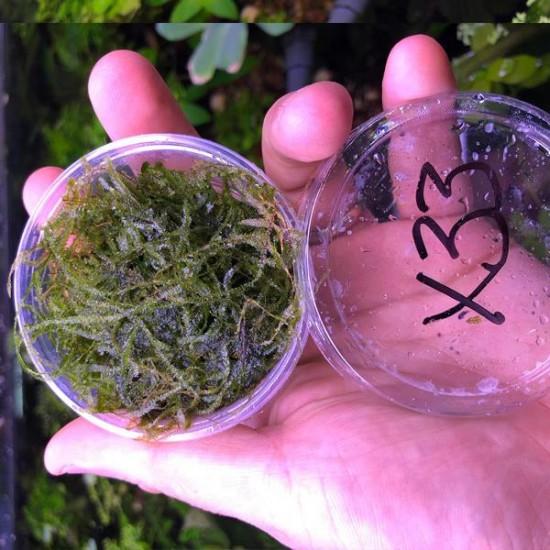 Christmass Moss Kutu Canlı Bitki