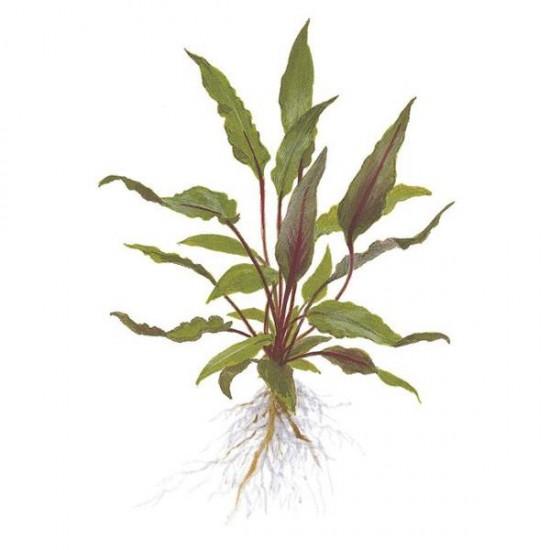 Cryptocoryne Beckettii Saksı Canlı Bitki