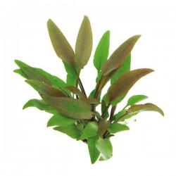 Cryptocoryne Lutea Saksı Canlı Bitki