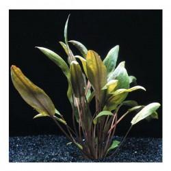Cryptocoryne Mioya Saksı Canlı Bitki