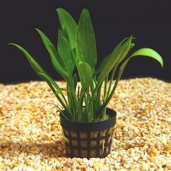 Cryptocoryne Parva Saksı Canlı Bitki