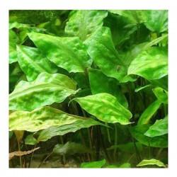 Cryptocoryne Pontederiifolia Saksı Canlı Bitki