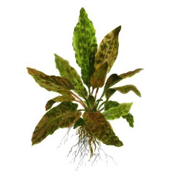 Cryptocoryne Tropica Saksı Canlı Bitki