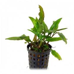 Cryptocoryne Usteriana Green Saksı Canlı Bitki