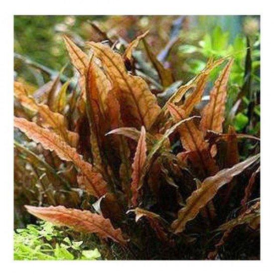 Cryptocoryne Wendtii Brown Saksı Canlı Bitki