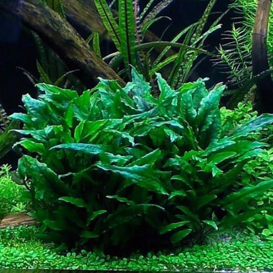 Cryptocoryne Wendtii Green Saksı Canlı Bitki