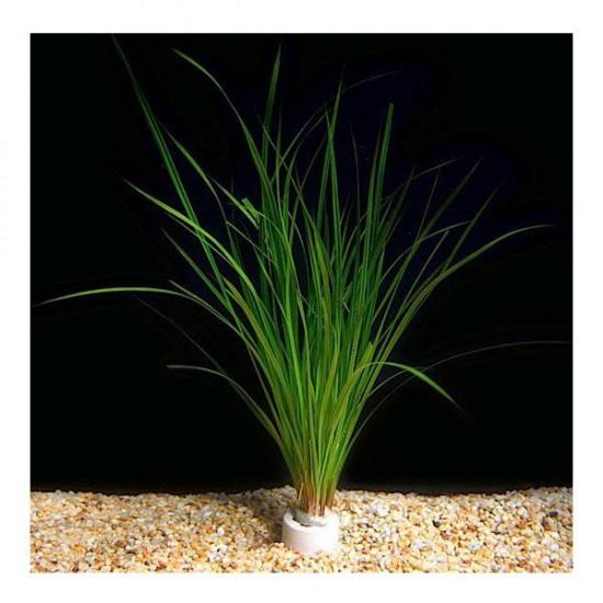 Cyperus Juncus Saksı Canlı Bitki