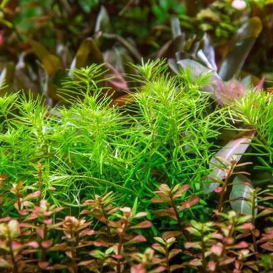 Didiplis Diandra Saksı Canlı Bitki