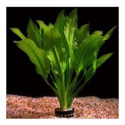 Echinodorus Amazonicus Saksı Canlı Bitki