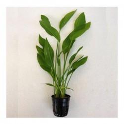 Echinodorus Argentinensis Saksı Canlı Bitki