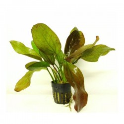 Echinodorus Fancy Twist Saksı Canlı Bitki