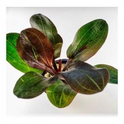 Echinodorus Hadi Red Pearl Saksı Canlı Bitki