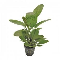 Echinodorus Ozelot 'Green' Saksı Canlı Bitki