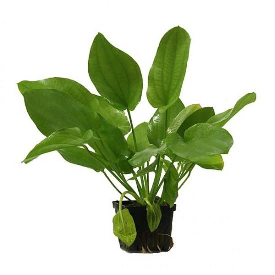 Echinodorus Schlueteri Saksı Canlı Bitki