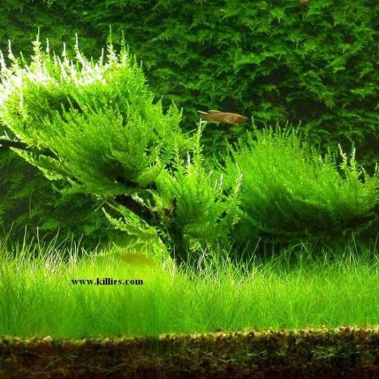 Erect Moss Tele Sarılı 5x5Cm Yeni Sarım Canlı Bitki