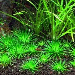 Eriocaulon Cinereum Saksı Canlı Bitki