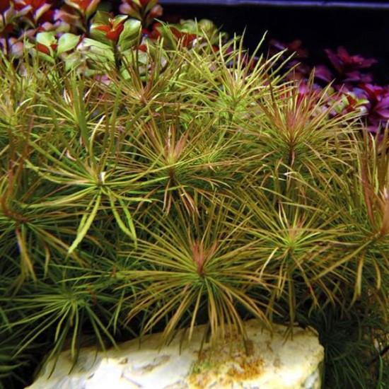 Eusteralis Stellata Saksı Canlı Bitki