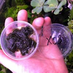 Fissidens Fontanus Moss Kutu Canlı Bitki