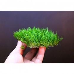 Flame Moss Tele Sarılı 5x5Cm Yeni Sarım Canlı Bitki