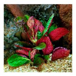 Hemigraphis Colorata Saksı Canlı Bitki