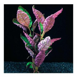 Hemigraphis Exotica Saksı Canlı Bitki