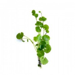 Hydrocotyle Leucocephala Saksı Canlı Bitki