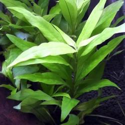 Hygrophila Corymbosa Angustifolia Saksı Canlı Bitki