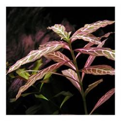 Hygrophila Rosanervig Zeytin Saksı Canlı Bitki