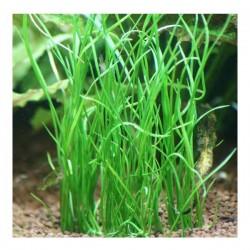 Isoetes Vetata Varsicula Saksı Canlı Bitki